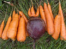 Хранение свеклы, моркови. Как хранить корнеплоды
