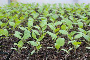 чем подкормить рассаду баклажан