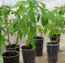 Как вырастить рассаду помидор. Выращивание рассады томатов