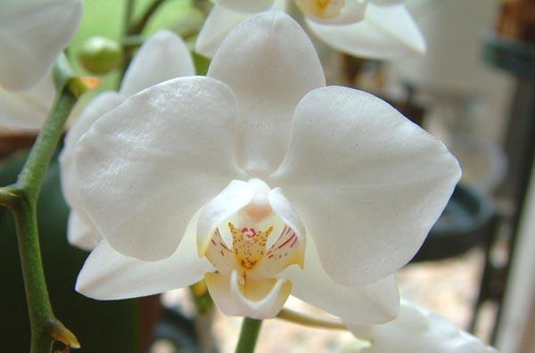 Орхидея родина растения википедия
