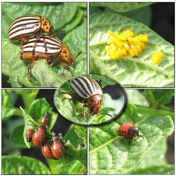 Колорадский жук в домашних условиях