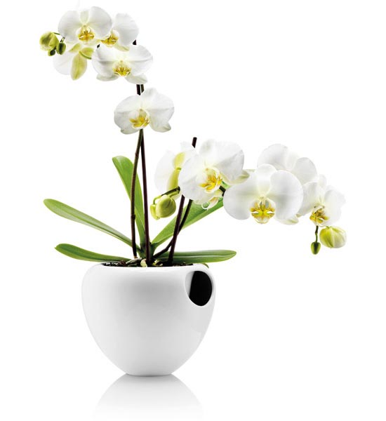 Орхидея описание